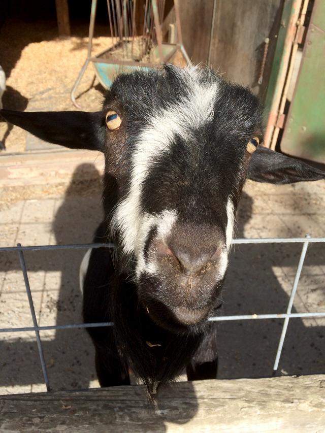 peach_goat2
